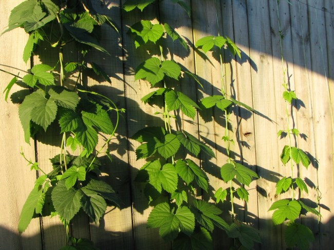 growing hops with free standing trellis
