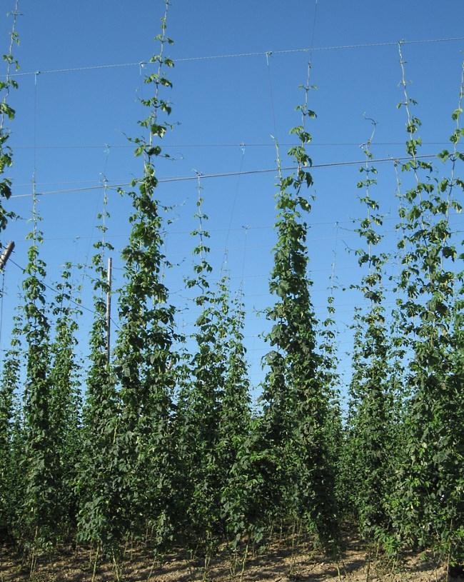 hop farming trellis